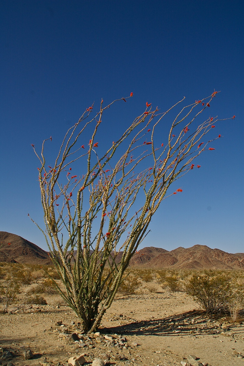 Националният парк Joshua Tree, Ocotillo